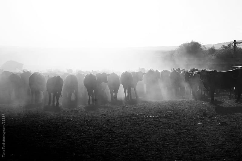 A herd of calves in the dust in the corral.  by Tana Teel for Stocksy United