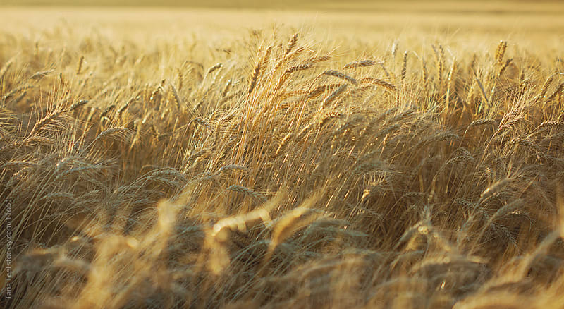 Wheat field by Tana Teel for Stocksy United