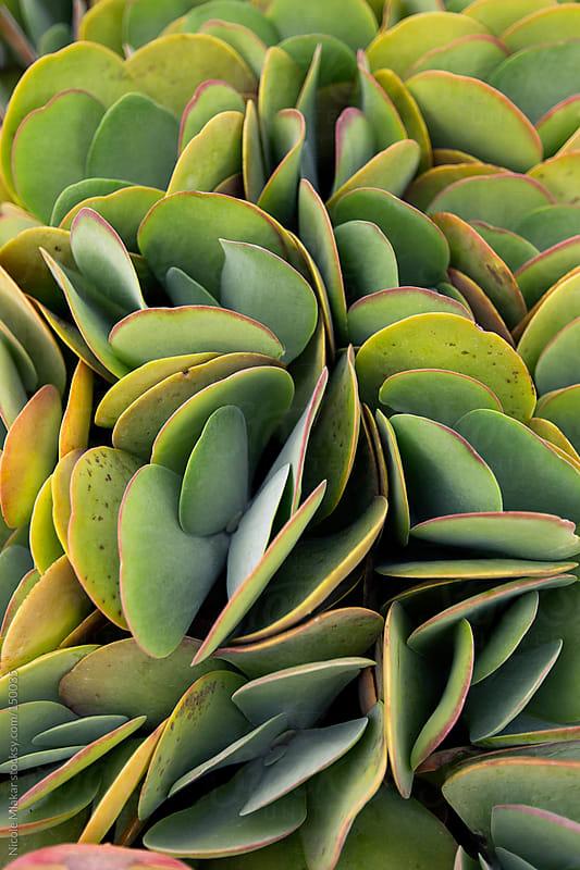 Paddle Cactus by Nicole Mlakar for Stocksy United