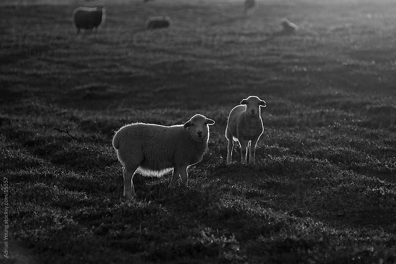 Sheep Backlit by the Setting Sun by Adrian Young for Stocksy United