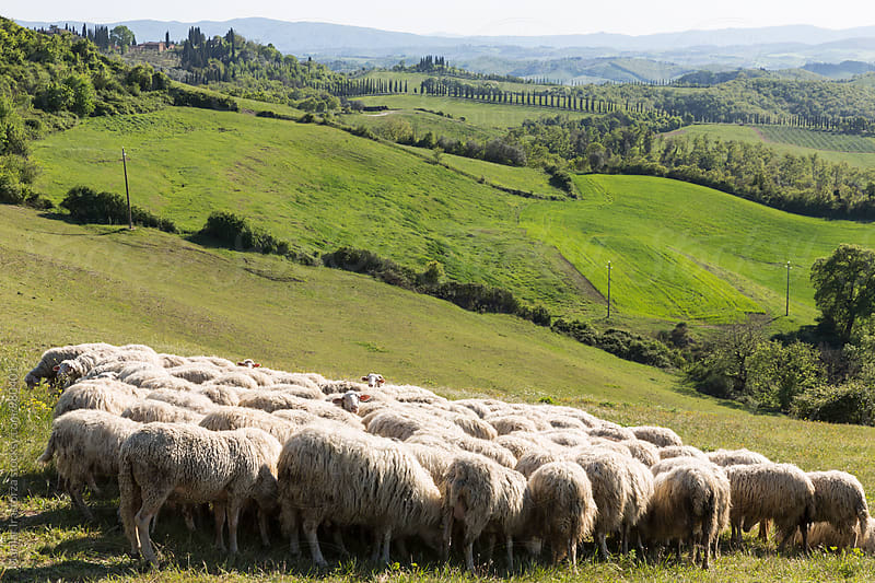 Flock of sheep on tuscan field by Marilar Irastorza for Stocksy United
