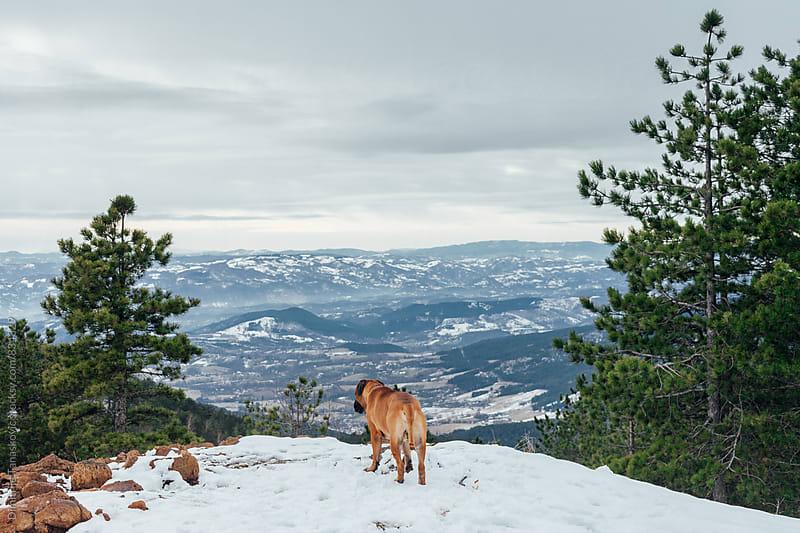 Adult bull mastiff in the snow by Dimitrije Tanaskovic for Stocksy United
