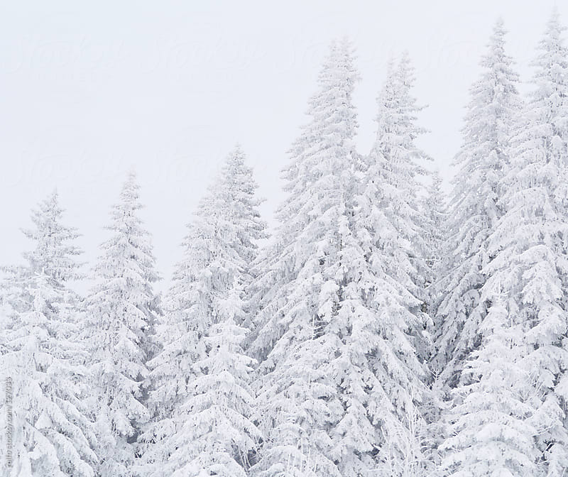 Beautiful snow covered evergreen forest by rolfo for Stocksy United