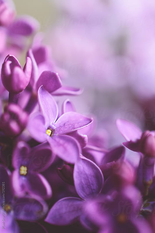 Macro lilac background by Pixel Stories for Stocksy United