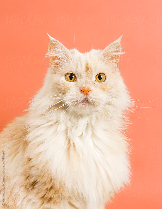 Cute cat portrait by Carles Rodrigo Monzo for Stocksy United