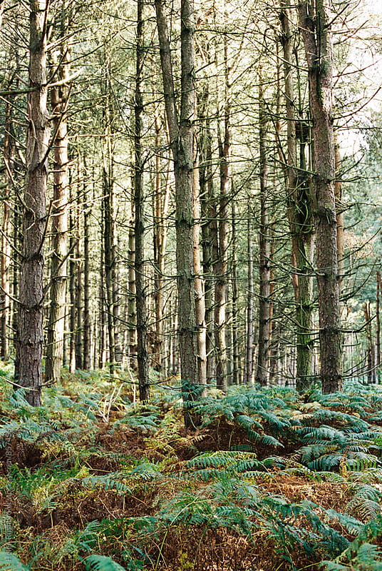 Pine trees and bracken in a forest by Helen Rushbrook for Stocksy United