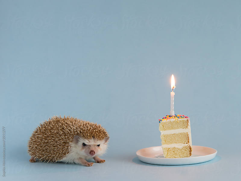 Hedgehog and Cake on blue background by Sophia Hsin for Stocksy United