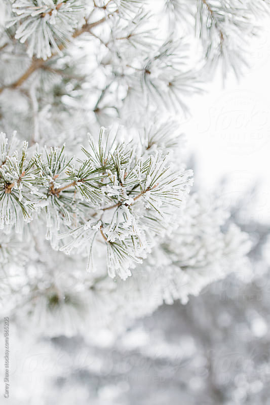 White winter detail of frost covered evergreen tree by Carey Shaw for Stocksy United