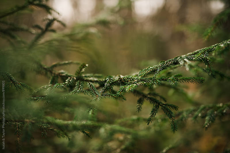 Pine needles on branch by Isaiah & Taylor Photography for Stocksy United