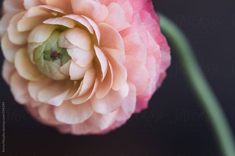 Macro of pastel pink single ranunculus flower by Kerry Murphy for Stocksy United