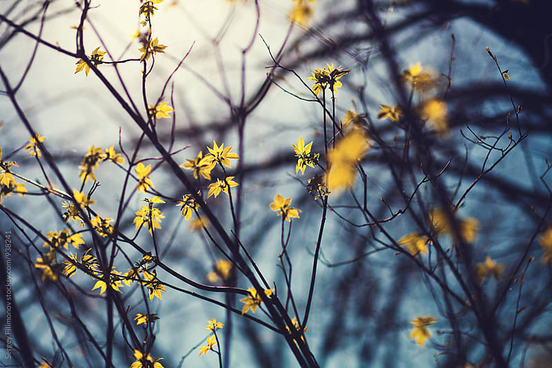Blossoming spring tree by Sergey Filimonov for Stocksy United