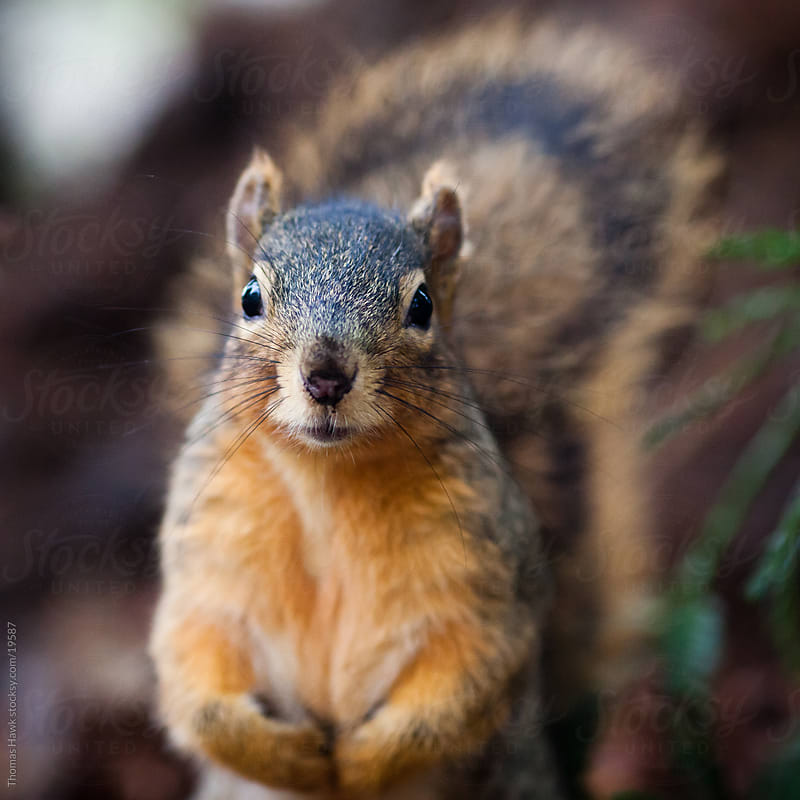 Squirrel by Thomas Hawk for Stocksy United