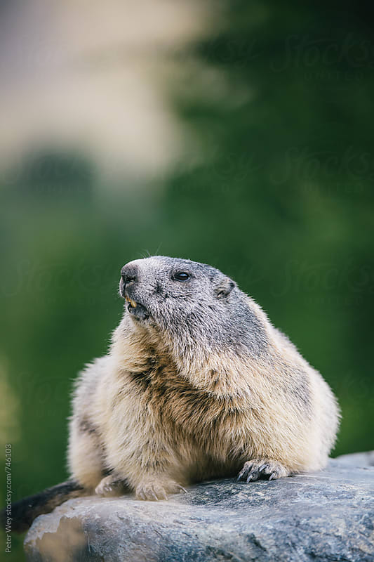 Portait of a marmot  by Peter Wey for Stocksy United