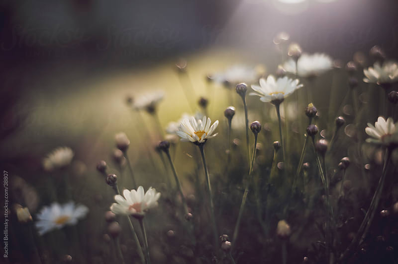 White spring daisies in rays of late afternoon sunlight by Rachel Bellinsky for Stocksy United