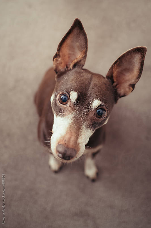 Miniature Pinscher dog looking up into camera by Rowena Naylor for Stocksy United