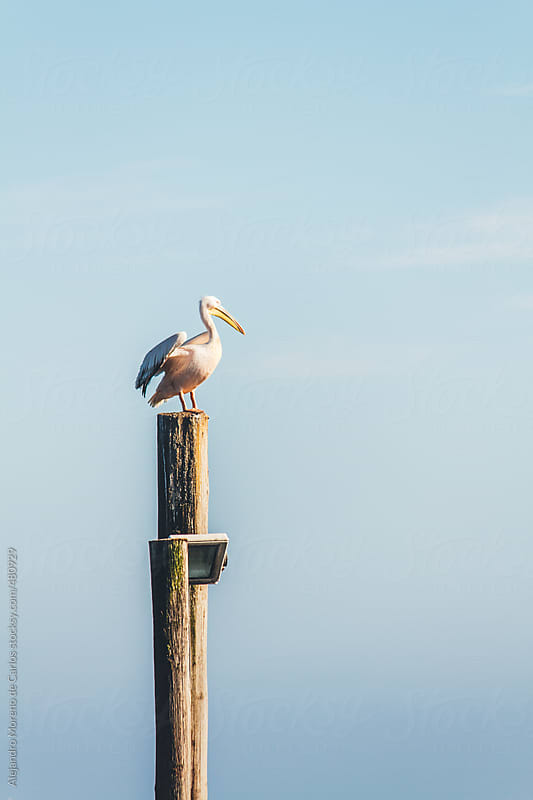 Pelican on top of a wooden pole on blue sky background by Alejandro Moreno de Carlos for Stocksy United