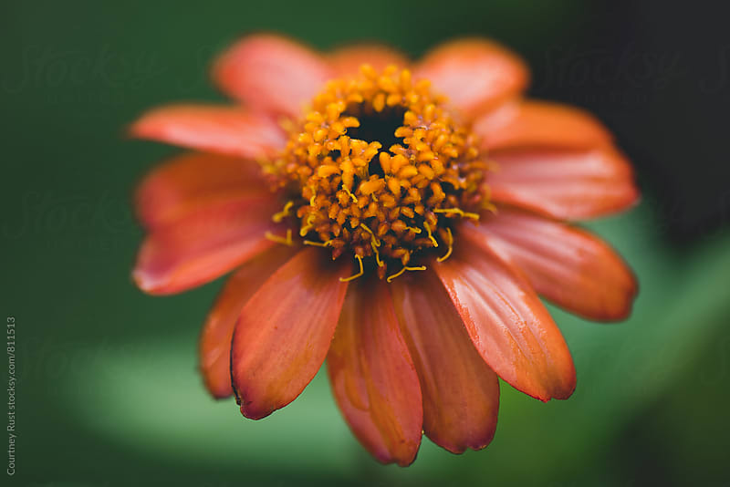 A zinnia with a heart by Courtney Rust for Stocksy United