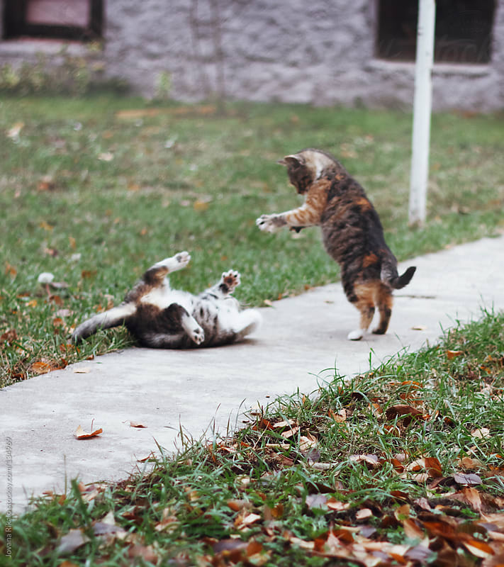Two beautiful kittens playing in the garden by Jovana Rikalo for Stocksy United