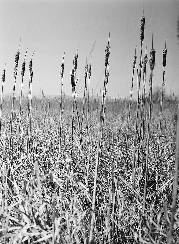the reeds by Kirill Bordon photography for Stocksy United