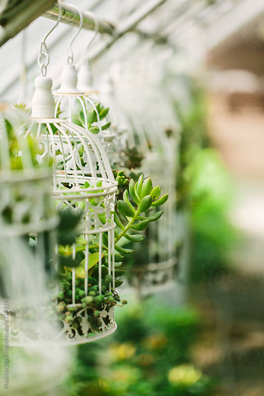 Succulents hanging in a bird cage by MaaHoo Studio for Stocksy United