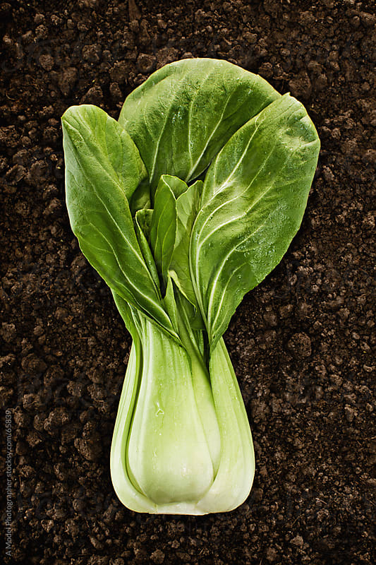 Organic Bok Choy :Fresh picked natural vegetable in soil by Ania Boniecka for Stocksy United