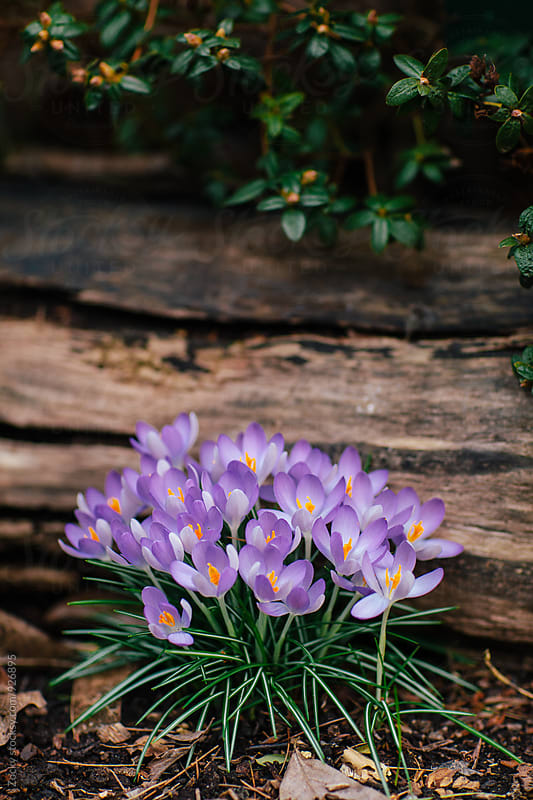 Group of crocus in the garden by Zocky for Stocksy United