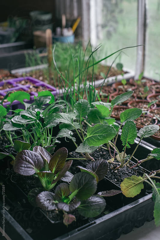 Vegetable Seedlings by Rowena Naylor for Stocksy United