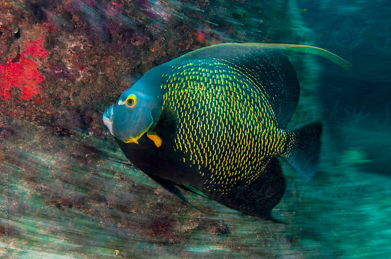 French Angelfish Moving Fast by Shane Gross for Stocksy United