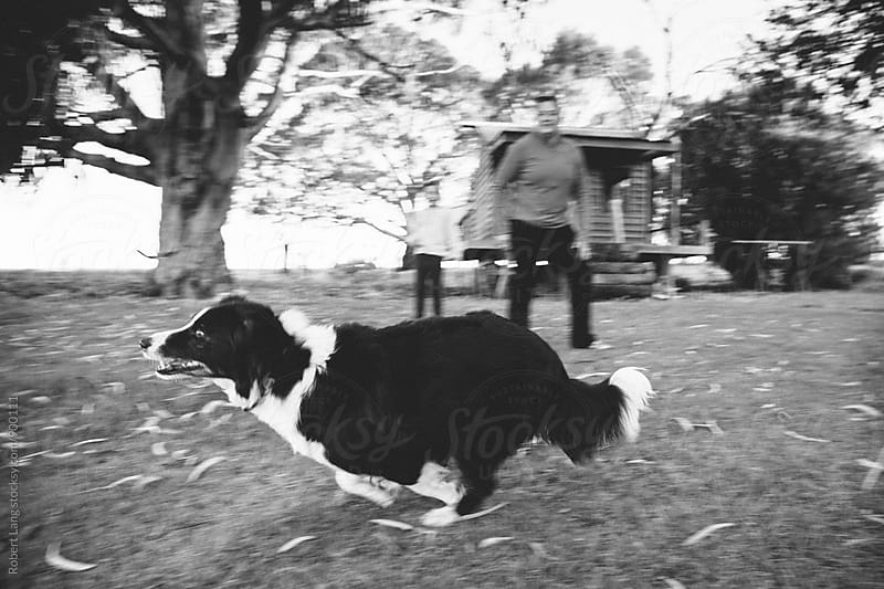 A Border Collie sheep dog runs after a stick thrown for fun by Robert Lang for Stocksy United