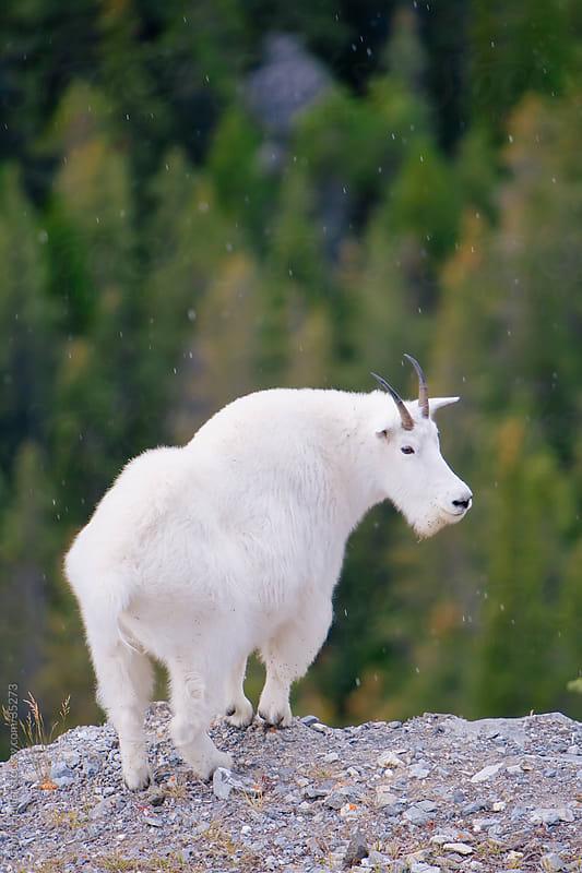 Canada, Alberta, Rocky Mountains, Jasper National Park, Mountain Goat (Oreamnos americanus) by Gavin Hellier for Stocksy United