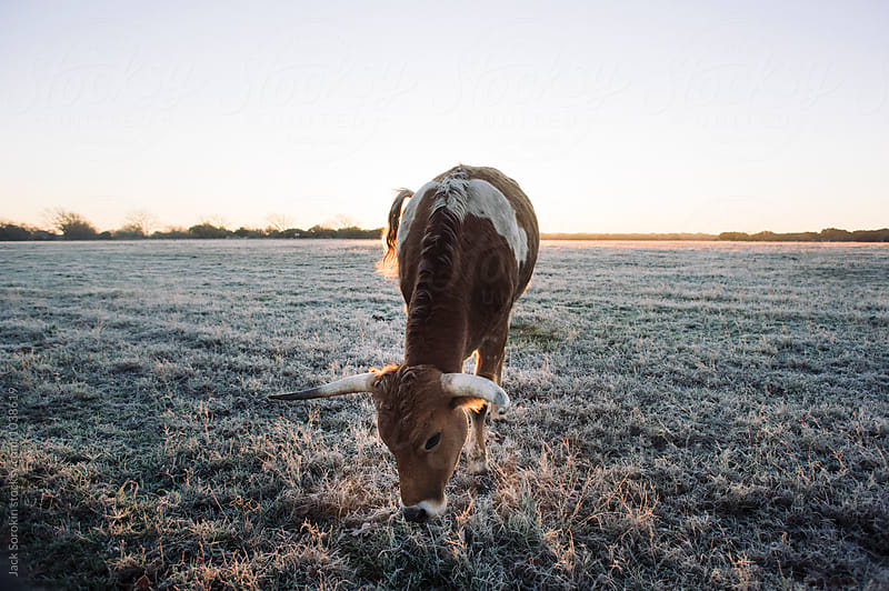 Texas Longhorn at Dawn  by Jack Sorokin for Stocksy United