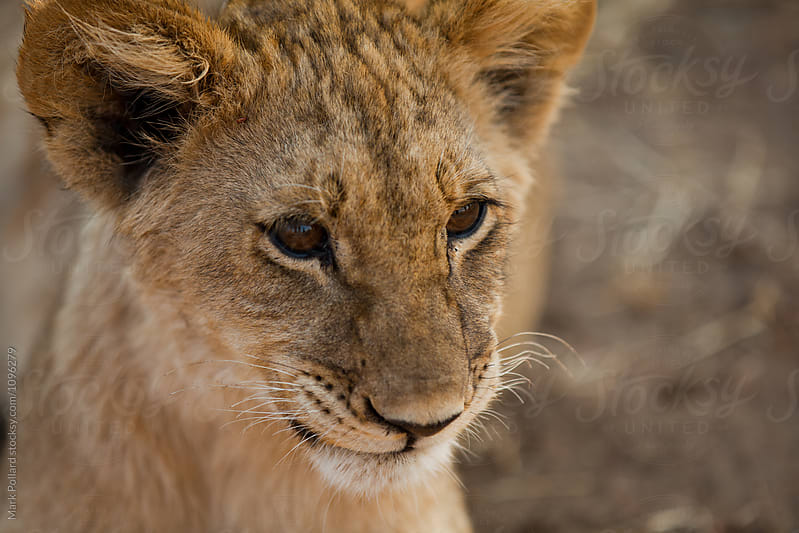 Close-up Portrait of a Young Lion  by Mark Pollard for Stocksy United