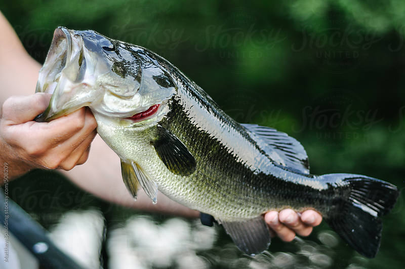 Holding largemouth bass fish by mouth caught on hook while fishing by Matthew Spaulding for Stocksy United