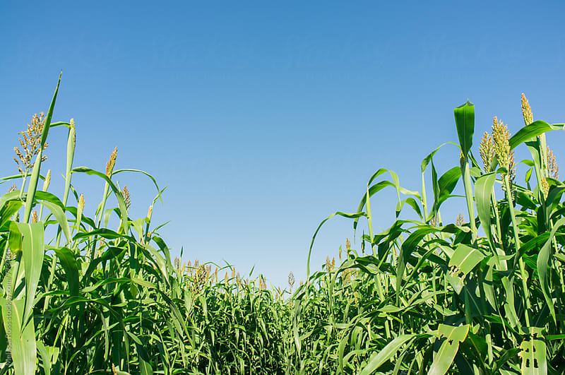 Corn growing tall. by Melissa Ross for Stocksy United