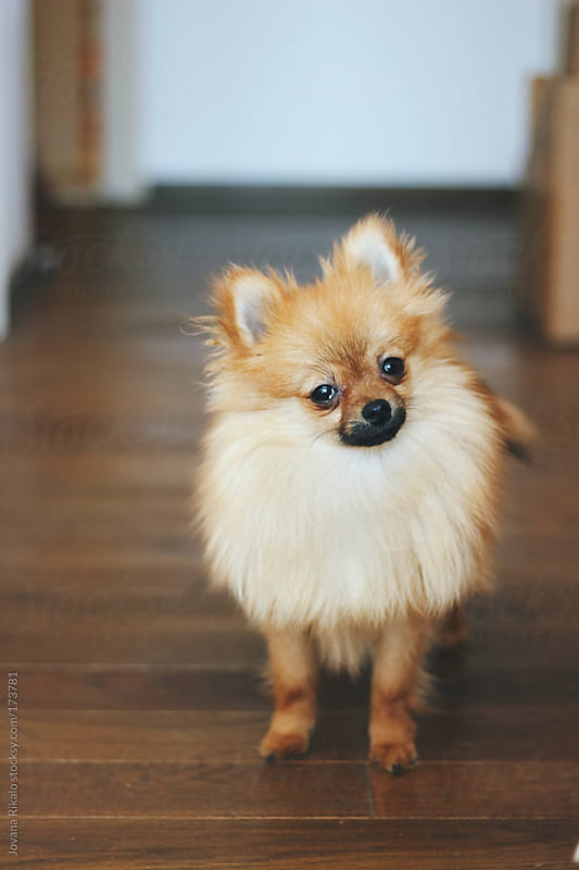 Yellow pomeranian dog looking at camera by Jovana Rikalo for Stocksy United
