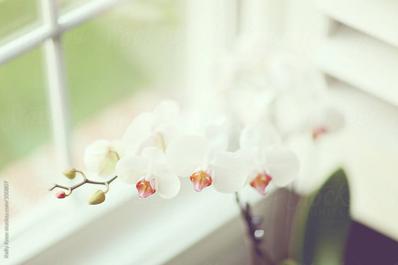 white orchid by a window by Kelly Knox for Stocksy United