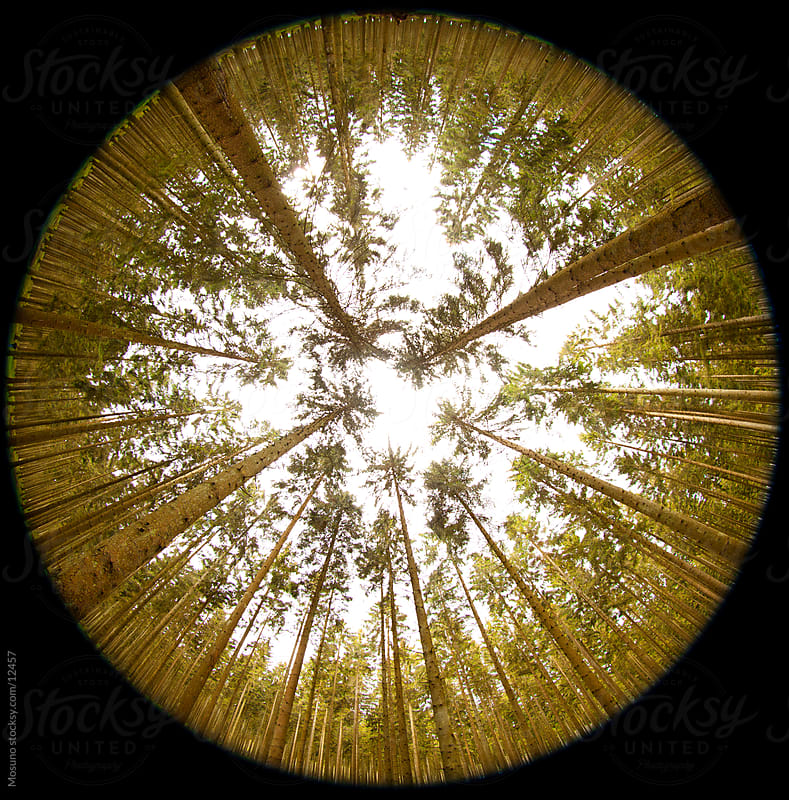 Very wide angle shot of coniferous forest. by Mosuno for Stocksy United