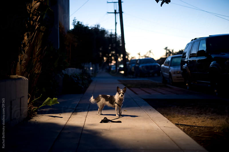 Dog in pool of light on a dark street at dusk by Rachel Bellinsky for Stocksy United
