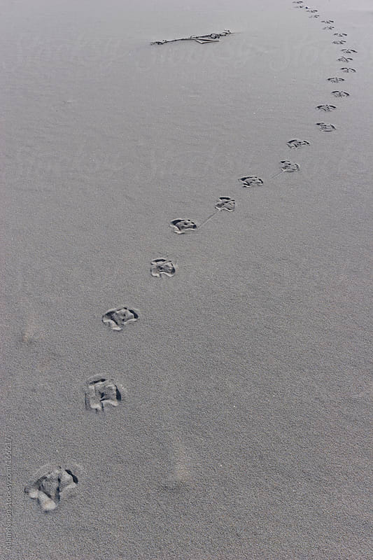 Animal Foot Prints in the Sand by Adam Nixon for Stocksy United