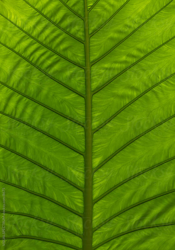 Tropical Green Leaf by VISUALSPECTRUM for Stocksy United