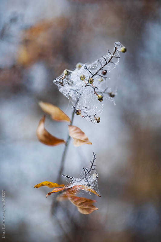 Early morning frost: wet spider web on almost leafless twig with berries on by Laura Stolfi for Stocksy United