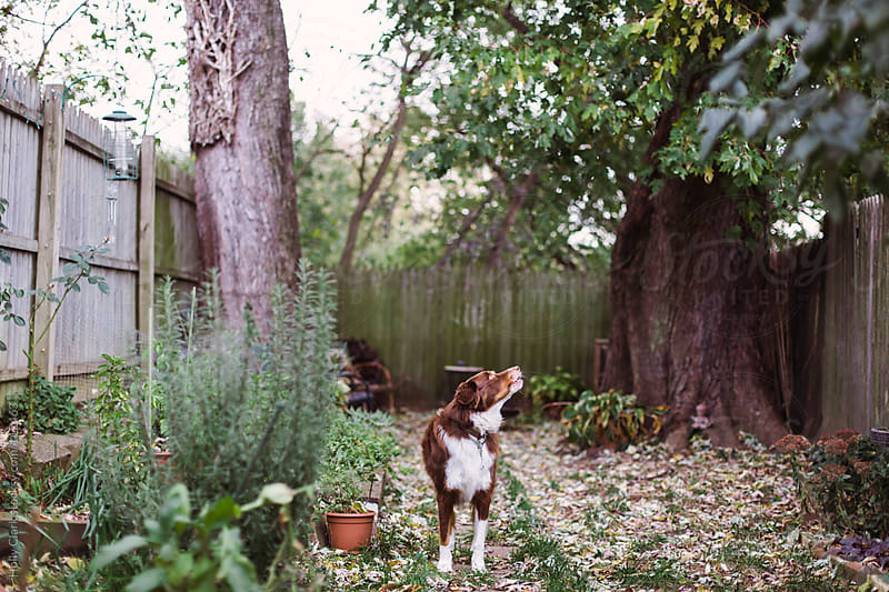 A dog barks in his city back yard covered with fallen leaves on an autumn day. by Holly Clark for Stocksy United