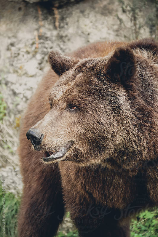 portrait of a brown bear by Leander Nardin for Stocksy United