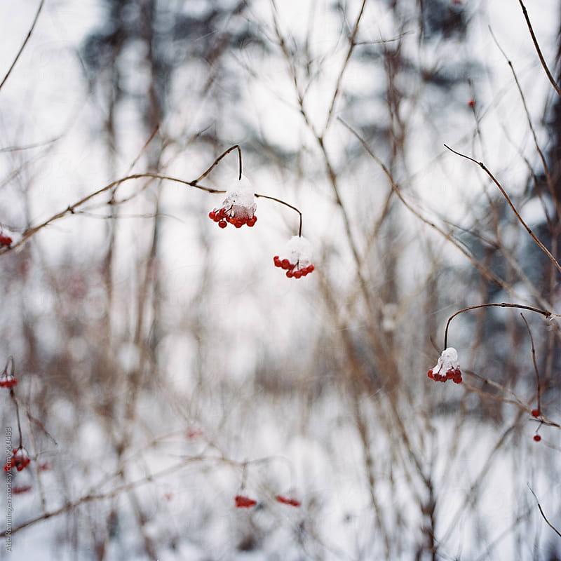 Frozen rowanberry a beautiful winter day in Oslo by Atle Rønningen for Stocksy United