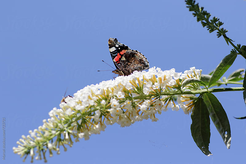 Red admiral butterfly on a butterfly bush by Marcel for Stocksy United