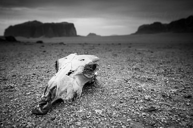 Desert Skull by Micky Wiswedel for Stocksy United