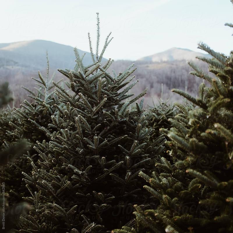Christmas Tree's by Brett Donar for Stocksy United