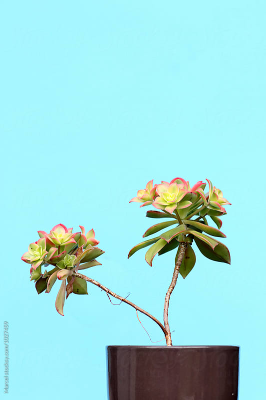 Aeonium haworthii 'kiwi' by Marcel for Stocksy United
