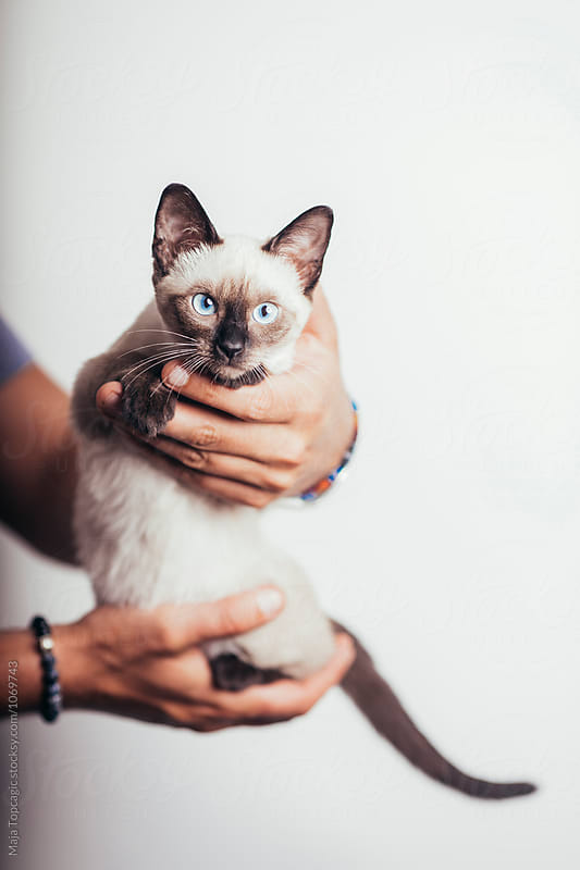 Man holding a siamese kitten by Maja Topcagic for Stocksy United