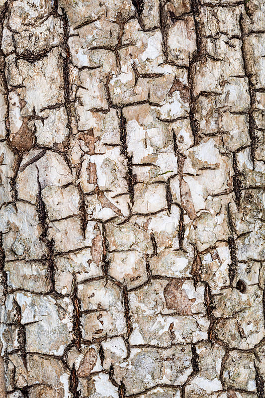 Close-up of tree bark by David Smart for Stocksy United